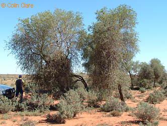 Eremocitrus glauca trees near Broken Hill, Australia