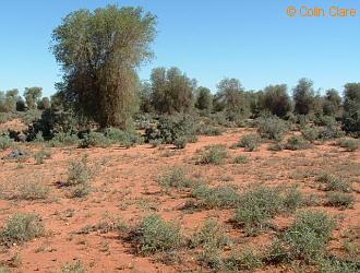 Desert Lime trees in Australia