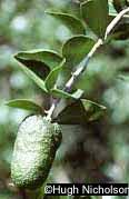 Nicholson Citrus garrawayi fruit 2