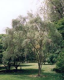 Desert Lime tree, Seville, 2003