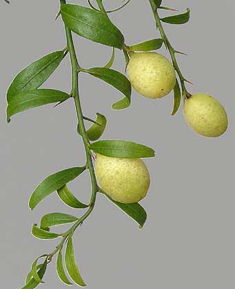 Citrus glauca hybrid - fruiting twigs