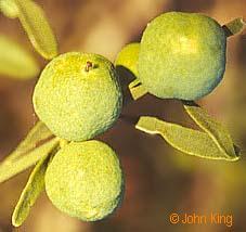 Desert Lime fruits