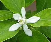 Citrus garrawayae flower