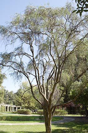 Desert Lime tree Seville, 2007
