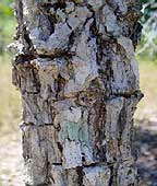 citrus gracilis bark