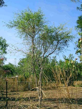 Citrus gracilis mature tree 1
