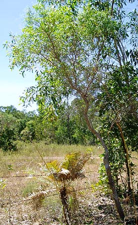 Citrus gracilis mature tree 2