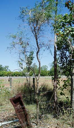 Citrus gracilis mature tree 3