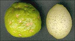Eremolemon & new Citrus glauca hybrid