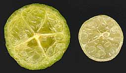 Cut fruit. Eremolemon & new Eremocitrus hybrid