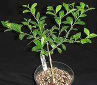 UK small Citrus garrawayi plant 2004