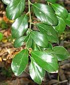 Citrus garrawayi leaves Kershaw Gdns