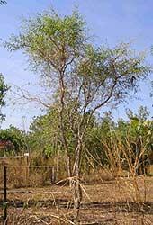 citrus gracilis tree