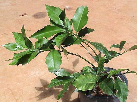 Citrus Inodora