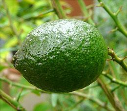 intermediate xSydney fruit
