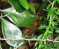Citrus garrawayi mature & juvenile leaves