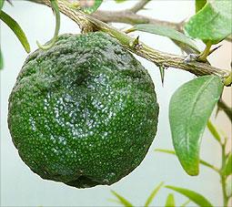 round fruit from untypical xSydney seedling