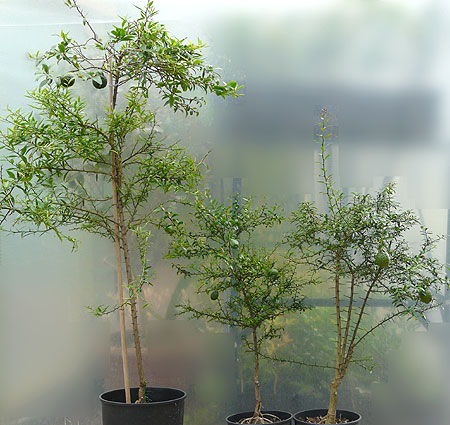 Sydney Hybrid seedlings