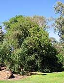 Citrus garrawayi tree Kershaw Gdns