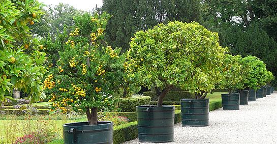 Citrus Trees At Twickel