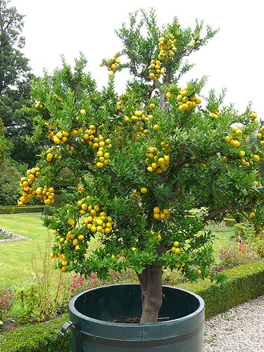 Dutch national citrus collection at twickel for Citrus myrtifolia